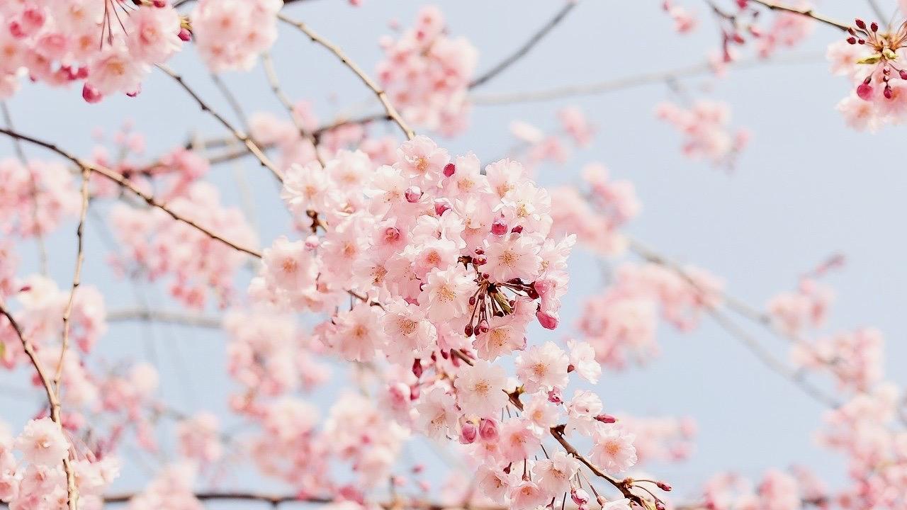 同期のサクラ,同期の桜,高畑充希,病気,脳挫傷,理由,原因,忖度,ドラマ,原作,非常にまずい,スゥー